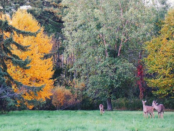 3 deer surrounded by fall colored trees in the University of Guelph arboretum